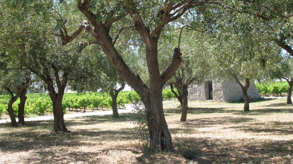 Vines near Montpellier